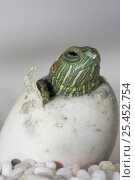 Купить «Red Eared Turtle (Pseudemys scripta elegans) hatching from egg. Egg-tooth is visible on head,», фото № 25452754, снято 3 апреля 2020 г. (c) Nature Picture Library / Фотобанк Лори
