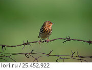 Red-Throated pipit {Anthus cervinus} perched on wire in breeding plumage, Greece. Стоковое фото, фотограф DAVID TIPLING / Nature Picture Library / Фотобанк Лори