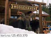 Купить «Moose {Alces alces} at Moosehaven feeding in snow, Wyoming, USA», фото № 25453370, снято 23 июля 2018 г. (c) Nature Picture Library / Фотобанк Лори