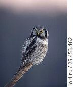 Купить «Hawk Owl perched (Surnia ulula) Finland», фото № 25453462, снято 19 января 2019 г. (c) Nature Picture Library / Фотобанк Лори