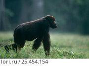 Western lowland gorilla {Gorilla gorilla gorilla} Juvenile male knuckle walking, Lokoue Bai, Odzala NP, Congo Rep. Стоковое фото, фотограф Jabruson / Nature Picture Library / Фотобанк Лори