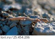 Купить «Caspian gecko {Alsophylax pipiens} Bogdinsko- Baskunchaksky Zapovednik, Russia.», фото № 25454206, снято 25 марта 2019 г. (c) Nature Picture Library / Фотобанк Лори