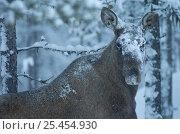 Купить «Moose in snow {Alces alces} Sarek NP. Lapland, Sweden.», фото № 25454930, снято 23 января 2019 г. (c) Nature Picture Library / Фотобанк Лори