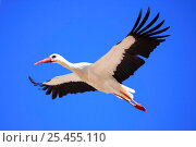 Купить «White stork {Ciconia ciconia} in flight, Spain.», фото № 25455110, снято 22 мая 2018 г. (c) Nature Picture Library / Фотобанк Лори