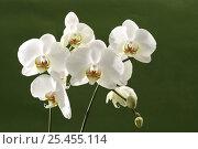 Купить «White hybrid orchid {Orchidaeceae} in flower, Europe.», фото № 25455114, снято 20 октября 2019 г. (c) Nature Picture Library / Фотобанк Лори
