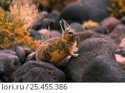 Купить «Common mountain viscacha {Lagidium viscacia} Inkawasi island, Salar de Uyuni, SW Bolivia», фото № 25455386, снято 10 июня 2020 г. (c) Nature Picture Library / Фотобанк Лори