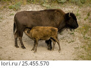 Bison / buffalo {Bison bison} Calf suckling, Wyoming, USA. Стоковое фото, фотограф John Cancalosi / Nature Picture Library / Фотобанк Лори