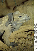 Купить «Rhinoceros iguana {Cyclura cornuta cornuta} captive, from Dominican Republic and Haiti», фото № 25455642, снято 9 декабря 2019 г. (c) Nature Picture Library / Фотобанк Лори