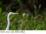 Купить «Head portrait of Great white egret {Ardea alba} Brazil, South America», фото № 25455982, снято 16 декабря 2018 г. (c) Nature Picture Library / Фотобанк Лори