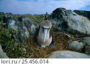 Купить «Blue-footed Booby {Sula nebouxii} female nesting, Espanola Is, Galapagos», фото № 25456014, снято 18 июня 2019 г. (c) Nature Picture Library / Фотобанк Лори