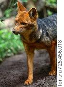 Culpeo fox {Pseudolopex culpaeus} Ecuador. Стоковое фото, фотограф Pete Oxford / Nature Picture Library / Фотобанк Лори
