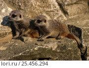 Купить «Two baby Suricates / Meerkats {Suricata suricata} captive, from southern Africa», фото № 25456294, снято 5 августа 2020 г. (c) Nature Picture Library / Фотобанк Лори