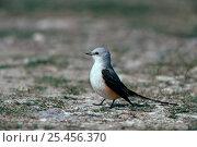 Купить «Scissor tailed flycatcher {Tyrannus forficatus} Texas, USA», фото № 25456370, снято 17 августа 2018 г. (c) Nature Picture Library / Фотобанк Лори