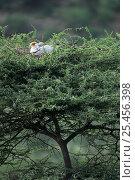 Secretary bird {Sagittarius serpentarius} on nest in Thorn tree, Samburu GR, Kenya. Стоковое фото, фотограф Mary McDonald / Nature Picture Library / Фотобанк Лори