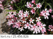 Купить «Oleander {Nerium mascatense} in bloom, Sayq Plateau, Jabal al Akhdar, Oman», фото № 25456826, снято 22 июля 2018 г. (c) Nature Picture Library / Фотобанк Лори