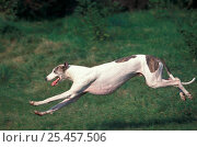 Купить «Greyhound running», фото № 25457506, снято 21 августа 2018 г. (c) Nature Picture Library / Фотобанк Лори