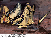 Купить «Butterflies {Papilio sp} feeding on minerals from mud, Brazil, South America», фото № 25457674, снято 20 января 2019 г. (c) Nature Picture Library / Фотобанк Лори