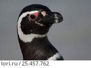 Magellanic penguin {Spheniscus magellanicus} head portrait, Falkland Islands. Note small  feathers. Стоковое фото, фотограф Solvin Zankl / Nature Picture Library / Фотобанк Лори