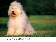 Купить «White Old English Sheepdog / Bobtail with hair tied up.», фото № 25458054, снято 15 октября 2018 г. (c) Nature Picture Library / Фотобанк Лори