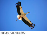 Купить «White stork {Ciconia ciconia} in flight, Spain.