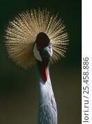 Portrait of Crowned crane (Balearica regulorum), Naivasha Rift Valley, Kenya. Стоковое фото, фотограф Jabruson / Nature Picture Library / Фотобанк Лори
