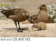 Lonnberg's Skua {Stercorarius antarcticus lonnbergi} feeding chick, Falkland Islands. Стоковое фото, фотограф Solvin Zankl / Nature Picture Library / Фотобанк Лори
