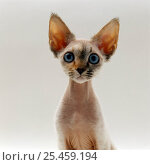 Купить «Domestic Cat {Felis catus} 16-week, female Tabby-point Devon Si-Rex 'Bounty'.», фото № 25459194, снято 18 сентября 2018 г. (c) Nature Picture Library / Фотобанк Лори