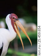 Купить «Wild Milky stork {Mycteria cinerea} South East Asia», фото № 25459654, снято 22 августа 2018 г. (c) Nature Picture Library / Фотобанк Лори