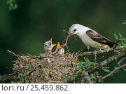 Купить «Scissor tailed flycatcher {Tyrannus forficatus} at nest feeding young, Welder Wildlife Refuge, Sinton, Texas, USA.», фото № 25459862, снято 27 мая 2018 г. (c) Nature Picture Library / Фотобанк Лори