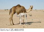 Купить «Dromedary {Camelus dromedarius} Arabian camel mother with young suckling, Jiddat al Harasis, Oman», фото № 25460010, снято 16 июля 2018 г. (c) Nature Picture Library / Фотобанк Лори