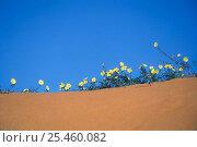 Купить «Devil's thorn (Tribulus zeyheri) the Kalahari desert's prominent creeper, appearing after the rains, Kgalagadi NP, South Africa», фото № 25460082, снято 17 августа 2018 г. (c) Nature Picture Library / Фотобанк Лори
