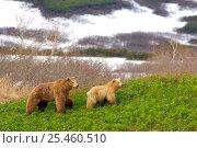 Купить «Kamchatka Brown bear (Ursus arctos beringianus) young male follows female during mating season, Kronotsky Zapovednik Reserve, Kamchatka, Russia.», фото № 25460510, снято 17 июля 2019 г. (c) Nature Picture Library / Фотобанк Лори