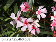 Купить «Oleander {Nerium mascatense} flower,  July, Sayq Plateau, Jabal al Akhdar, Oman», фото № 25460658, снято 22 июля 2018 г. (c) Nature Picture Library / Фотобанк Лори