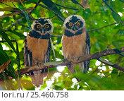 Купить «Two immature Spectacled Owls {Pulsatrix perspicillata / chapmani} perching in tree, Gamboa, Panama.», фото № 25460758, снято 24 января 2019 г. (c) Nature Picture Library / Фотобанк Лори
