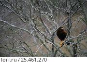Harris' hawk (Parabuteo unicinctus) resting in tree, TX, USA. Стоковое фото, фотограф John Cancalosi / Nature Picture Library / Фотобанк Лори