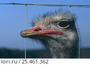 Купить «Portrait of domesticated Ostrich (Strustio camelus) looking through wire fence, Germany», фото № 25461362, снято 16 августа 2018 г. (c) Nature Picture Library / Фотобанк Лори