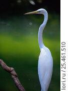 Купить «Portrait of Great egret (Ardea alba), Iquazu, Brazil, South America», фото № 25461510, снято 26 марта 2019 г. (c) Nature Picture Library / Фотобанк Лори
