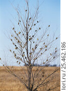 Купить «Flock of Grassland yellow finches in tree {Sicalis luteola} Argentina», фото № 25462186, снято 18 февраля 2020 г. (c) Nature Picture Library / Фотобанк Лори