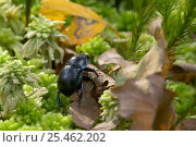 Купить «Common Dor Beetle {Geotrupes stercorarius} clambering over woodland floor, UK», фото № 25462202, снято 15 декабря 2017 г. (c) Nature Picture Library / Фотобанк Лори