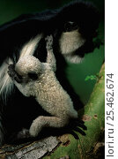 Купить «Baby Black and white colobus monkey {Colobus guereza} with mother, Kenya.», фото № 25462674, снято 21 января 2020 г. (c) Nature Picture Library / Фотобанк Лори