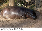Pygmy Hippopotamus  {Choeropsis / Hexaprotodon liberiensis} 2-month Baby, Cango Wildlife Ranch, Oudtshoorn, Little Karoo, South Africa - captive. Стоковое фото, фотограф Tony Phelps / Nature Picture Library / Фотобанк Лори