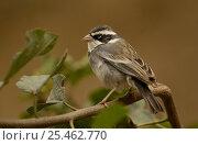 Купить «Collared warbling finch {Poospiza hispaniolensis} male, Machalilla NP, Ecuador», фото № 25462770, снято 26 марта 2019 г. (c) Nature Picture Library / Фотобанк Лори