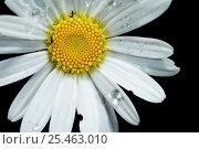 Купить «Flower of Oxeye daisy (Chrysanthemum leucanthemum), Europe.», фото № 25463010, снято 19 августа 2018 г. (c) Nature Picture Library / Фотобанк Лори