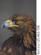 Купить «RF- Golden Eagle (Aquila chrysaetos) adult portrait. Captive, Cairngorms National Park, Scotland, UK.», фото № 25463198, снято 20 сентября 2018 г. (c) Nature Picture Library / Фотобанк Лори