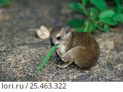 Young Rock hyrax {Procavia capensis} feeding on grass, Serengeti NP, Tanzania. Стоковое фото, фотограф Anup Shah / Nature Picture Library / Фотобанк Лори