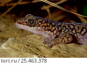 Купить «Southern spotted / Tryon's velvet gecko {Oedura tryoni} captive, from Australia», фото № 25463378, снято 3 апреля 2020 г. (c) Nature Picture Library / Фотобанк Лори
