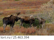 Купить «Moose {Alces alces} female with calf and male checking female's scent for oestrus, Denali National Park, Alaska, USA.», фото № 25463394, снято 22 марта 2019 г. (c) Nature Picture Library / Фотобанк Лори