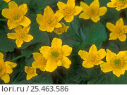 Купить «Marsh marigold / Kingcup in flower {Caltha palustris} Belgium», фото № 25463586, снято 27 апреля 2018 г. (c) Nature Picture Library / Фотобанк Лори