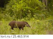 Купить «Brazilian tapir (Tapirus terrestris) Female, wild Serra da Bodoquena. Brazil», фото № 25463914, снято 24 марта 2019 г. (c) Nature Picture Library / Фотобанк Лори