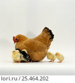 Купить «Buff bantam Hen {Gallus gallus domesticus} with chicks, 2-days-old.», фото № 25464202, снято 17 декабря 2018 г. (c) Nature Picture Library / Фотобанк Лори